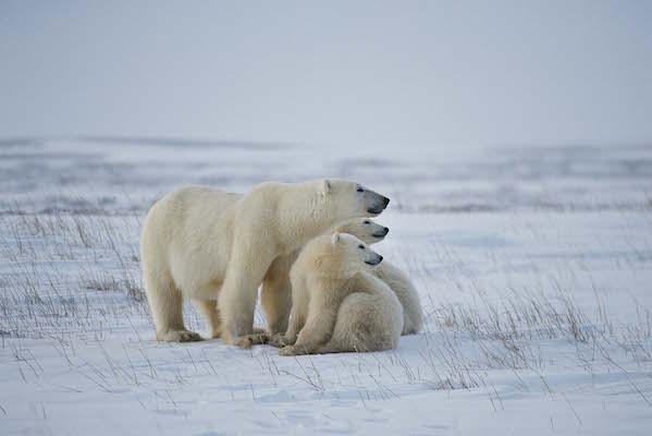 氷の世界に生きるホッキョクグマの親子
