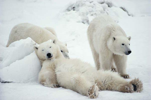 氷上でくつろぐホッキョクグマ